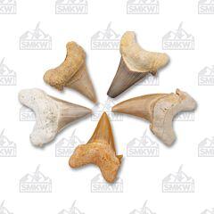 Single Piece Loose shark Tooth