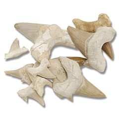8 Piece Shark Tooth Collection