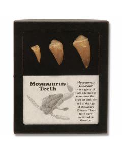 3 Piece Mosasaurus Teeth