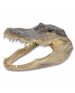 American Alligator Head - Large
