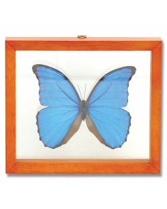 Single Morpho Didius Butterfly Natural History Display