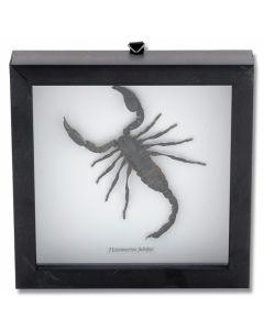 Scorpion (Heteromerus Fulvipes) Natural History Display