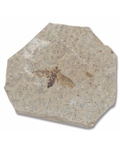 Fossilized Marchfly