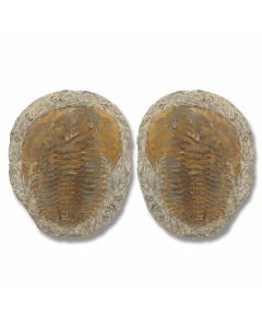 Museum Quality Trilobite Pair