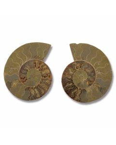 "Museum Quality Ammonite Pair - 8""-10"" Giant Size"