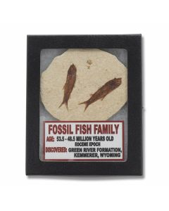 Set of (2) Fossil Fish Family