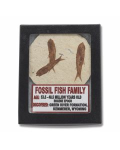 Set of (3) Fossil Fish Family