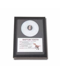 Genuine Dinosaur Medium Raptor Deltradomeosaur Tooth