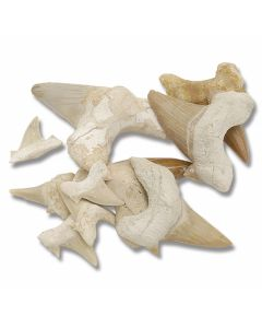 Shark Tooth Collection - (8) Pieces