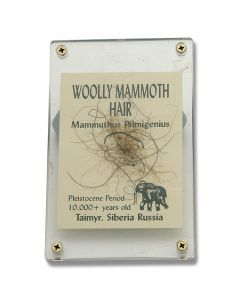 Genuine Woolly Mammoth Hair in Acrylic Display