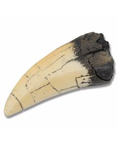 Tyrannosaurus T-Rex Tooth Replica